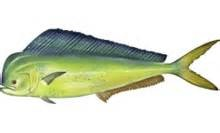 Where can i buy Mahi Mahi?  Find out which local farmer has Mahi Mahi for sale.