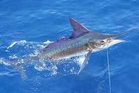 Where can I buy fresh Striped marlin from a local farmer.