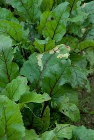 Where can i buy Beet greens Plant?  Find out which local farmer has Beet greens Plant for sale.