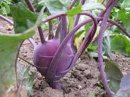 Where can I buy fresh Kohlrabi from a local farmer.