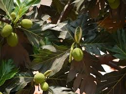 Where can i buy local Ulu Breadfruit.