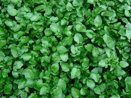 Where can I buy fresh Watercress from a local farmer.
