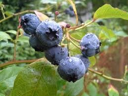 Where can i buy Bilberry Plant?  Find out which local farmer has Bilberry Plant for sale.