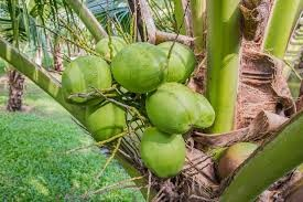 Where can i buy Coconut?  Find out which local farmer has Coconut for sale.