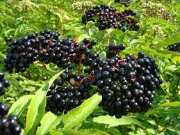 Where can I buy fresh Elderberry from a local farmer.