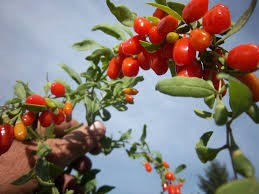 Where can i buy Goji berry?  Find out which local farmer has Goji berry for sale.