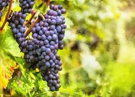 Where can i buy Grape Plant?  Find out which local farmer has Grape Plant for sale.