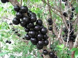 Where can i sell my local Jabuticaba.