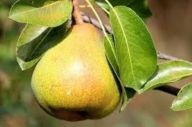Where can i sell my local Pear.