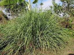 Where can i buy Lemon Grass Plant?  Find out which local farmer has Lemon Grass Plant for sale.