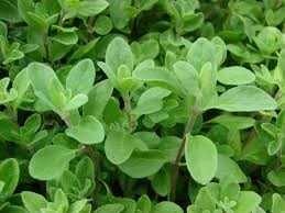 Where can i buy Marjoram?  Find out which local farmer has Marjoram for sale.
