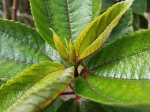 Where can i buy Mamaki Leaf Plant?  Find out which local farmer has Mamaki Leaf Plant for sale.