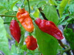 Where can I buy fresh, local Anaheim Pepper.