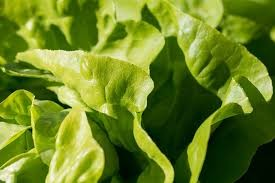 Where can i buy Butter Head Lettuce?  Find out which local farmer has Butter Head Lettuce for sale.