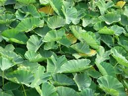 Where can I buy fresh Luau Leaf from a local farmer.