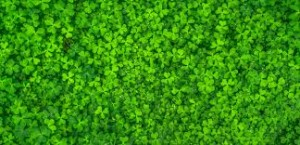 Where can I buy fresh Clover Sprout from a local farmer.