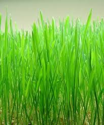 Where can I buy fresh Wheatgrass Sprouts from a local farmer.
